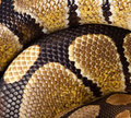 Royal, Ball Python (regius) Royalty Free Stock Photography