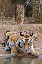 Royal bengal tiger a beautiful sub adult s bandhavgarh national park madhya pradesh india Stock Image