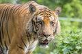 A royal bengal tiger at dhaka zoo takes bath to beat the hot summer heat bangal is native animal of bangladesh and it lives in Royalty Free Stock Image