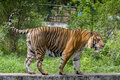 A royal bengal tiger at dhaka zoo takes bath to beat the hot summer heat bangal is native animal of bangladesh and it lives in Stock Image