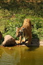Royal Bengal Tiger drinks at water's edge Stock Photography