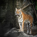 Royal bengal tiger portrait of a Royalty Free Stock Photo