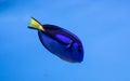 Royal Blue Tang Royalty Free Stock Photo