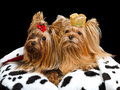 Royal dogs with crown and gown Royalty Free Stock Photos