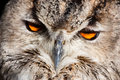 Royal owl - Bubo Bubo Royalty Free Stock Images