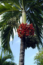 Royal palm fruit Royalty Free Stock Photo