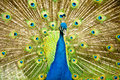 Royal peacock the showing his colors Royalty Free Stock Images