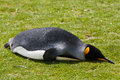 Royal penguin lying on the grass in a colony of penguins in the falkland islands Stock Photo