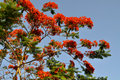 Royal Poinciana Stock Photos