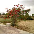 Royal Poinciana And Acacia Plant In Indian Field