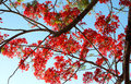 Royal poinciana called flame tree in the philippines it s orchid shaped deep orange red flowers are truly exquisite flowers grow Stock Image