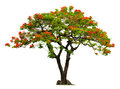 Royal poinciana tree with red flower isolated on white Royalty Free Stock Photos