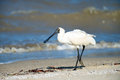 Royal spoonbill australia an walking on a beach Royalty Free Stock Image