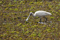 Royal spoonbill bird a white on a billabong in kakadu national park australia Royalty Free Stock Image