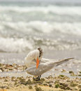 Royal Tern on Beach Stock Photography