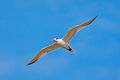 Royal Tern in flight, Thallaseus maximus, white bird with black cap, blue sky with white clouds in background, Costa rica. Wildlif Royalty Free Stock Photo