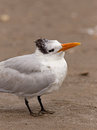 Royal tern an inquisitive looking around on the beach on the gulf coast of mexico Royalty Free Stock Image