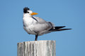 Royal tern perch perching looking around with an alert expression Royalty Free Stock Photography