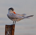 Royal Tern on pole Stock Images