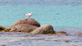 Royal tern thalasseus maximus maximus on a rock at saint martin caribbean Royalty Free Stock Photo