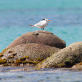 Royal tern thalasseus maximus maximus on a rock at saint martin caribbean Royalty Free Stock Photography