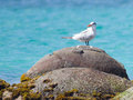 Royal tern thalasseus maximus maximus on a rock at saint martin caribbean Royalty Free Stock Images