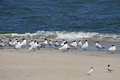 Royal Terns Royalty Free Stock Photos