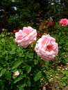 Royale perfection rose roses rosaceae family rosa genre iasi romania delbard chabert Stock Image