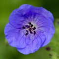 Rozanne Geranium Stock Photography