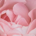 Roze achtergrond rose stock photos Royalty-vrije Stock Afbeeldingen