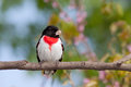 Roze breasted grosbeak Royalty-vrije Stock Afbeelding
