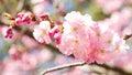 Roze cherry blossom Stock Foto