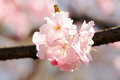 Roze cherry blossom Stock Afbeeldingen