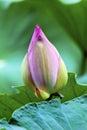 Roze lotus bud pond temple sun beijing china Stock Fotografie