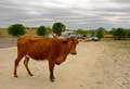 Rr longhorn gentle cow standing on the road next to gate security company Royalty Free Stock Image