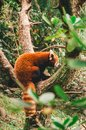 Red panda in a zoo
