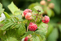 Rspberries raspberries ripen on the cane Royalty Free Stock Image