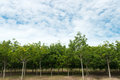 Rubber estate rows of trees against cloudy blue sky Stock Image