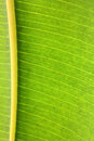 Rubber plant green leaf with veins macro Royalty Free Stock Photo