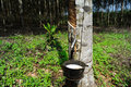 Rubber Plantation Royalty Free Stock Photo