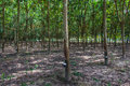 Rubber tree cultivation in northern thailand were productive Stock Photo