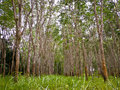 rubber trees Royaltyfria Foton