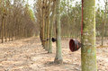 Rubber trees Stock Photography