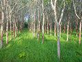 Rubber trees in daylight southern of thailand Royalty Free Stock Images