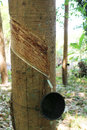 Rubber trees tapping latex from a tree krabi thailand Royalty Free Stock Photos