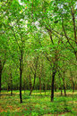 Rubber trees of the villager scenic landscape Royalty Free Stock Image