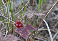 Rubus arcticus rare tasty berries of the russian north Stock Images