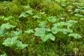 Rubus chamaemorus plant Royalty Free Stock Photo