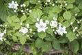 Rubus fruticosus blackberry flower in the garden Royalty Free Stock Image