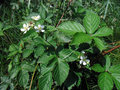 Rubus fruticosus blackberry flower and leaves Stock Photography
